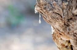 Mastic tears